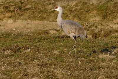 カナダヅル(Sandhill Crane)