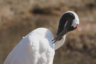 タンチョウ(Red-crowned crane)