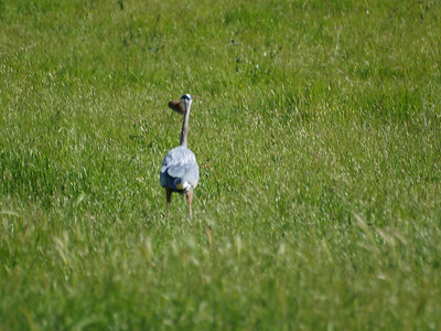 crane with lunch in his beak