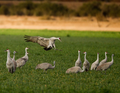 Sandhill Crane   Cibola NWR 2014 02 01-4.CR2
