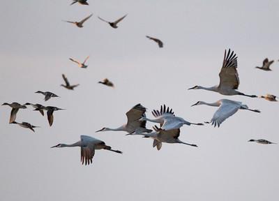 Sandhill Cranes Cibola NWR 2014 01 31-4.CR2