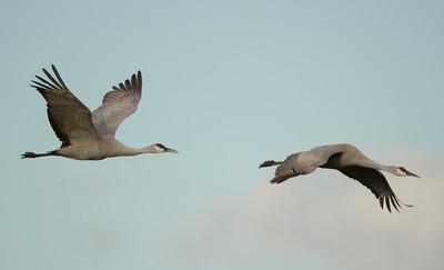 Sandhill Crane   Cibola NWR 2014 02 01-8.CR2