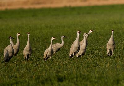 Sandhill Crane   Cibola NWR 2014 02 01-1.CR2