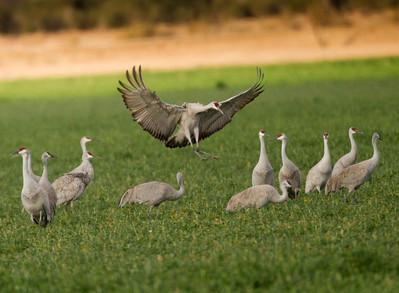 Sandhill Crane   Cibola NWR 2014 02 01-5.CR2