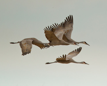 Sandhill Cranes Cibola NWR 2014 01 31-1.CR2