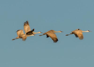 Sandhill Cranes Salton Sea 2016 02 07-1.CR2-1.CR2