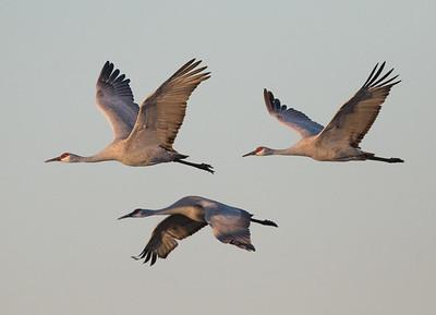 Sandhill Cranes Salton Sea 2016 02 20-2.CR2
