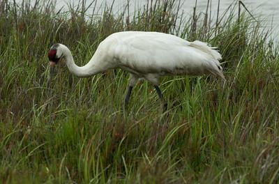 Whooping Crane  Aransas WLR  Texas 2012 3 19 (11 of 11).CR2