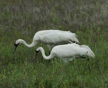 Whooping Crane  Aransas WLR  Texas 2012 3 19 (3 of 11).CR2