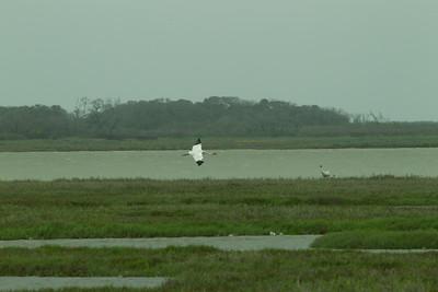 Whooping Crane  Aransas WLR  Texas 2012 3 19 (8 of 11).CR2