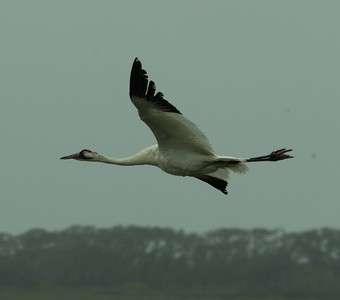 Whooping Crane  Aransas WLR  Texas 2012 3 19 (6 of 11).CR2