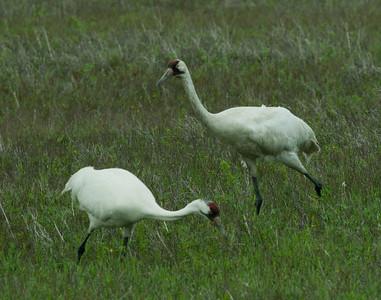 Whooping Crane  Aransas WLR  Texas 2012 3 19 (2 of 11).CR2