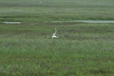 Whooping Crane  Aransas WLR  Texas 2012 3 19 (1 of 11).CR2