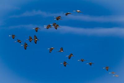 V Formation Sandhill Cranes in Flight