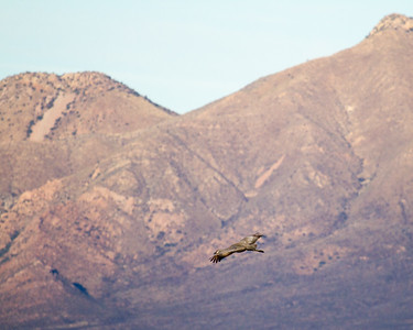 Sandhill Crane over Mountain