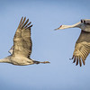 Sandhill Cranes in Arizona