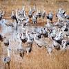 Sandhill Cranes in Wetland