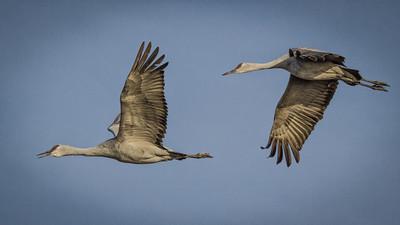 Sandhill Cranes in Flight at White Water Draw
