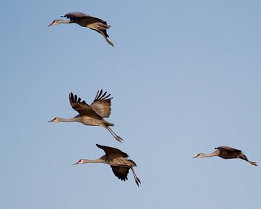 Sandhill Cranes in Flight 5