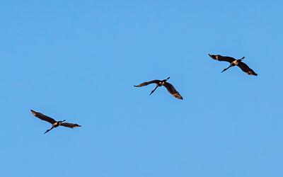 Sandhill Cranes at Wheeler National Wildlife Preserve