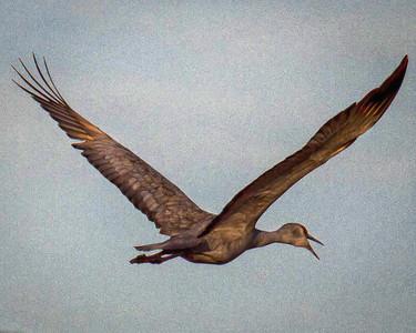 Golden Sunlight on Sandhill Crane in Flight