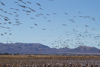 Sandhill Cranes over Landscape