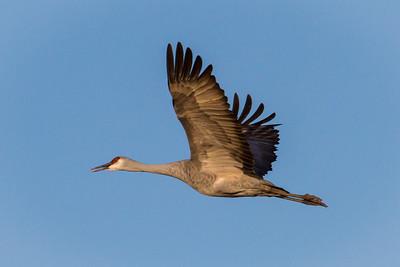 Sandhill Crane in Flight 3