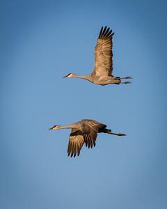 Sandhill Cranes in Flight 4