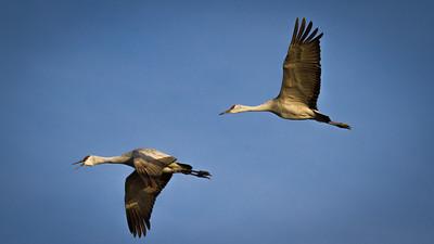 Sandhill Cranes in Flight 3