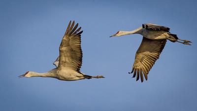 Sandhill Cranes in Flight 2