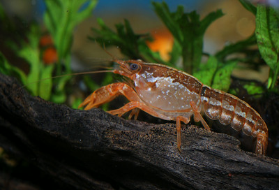 Cambarellus patzcuarensis