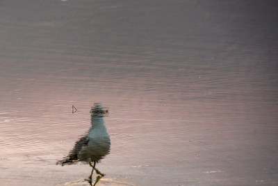 Walking Gull