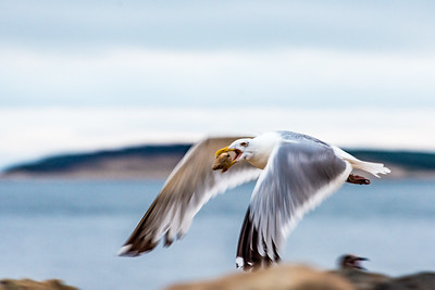 Seagull carrying clam