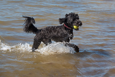 Lady Luca - Portuguese Water Dog
