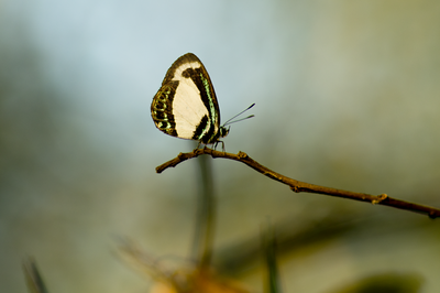 The diminuitive grandeur of the small green-banded blue butterfly (Psychonotis caelius)