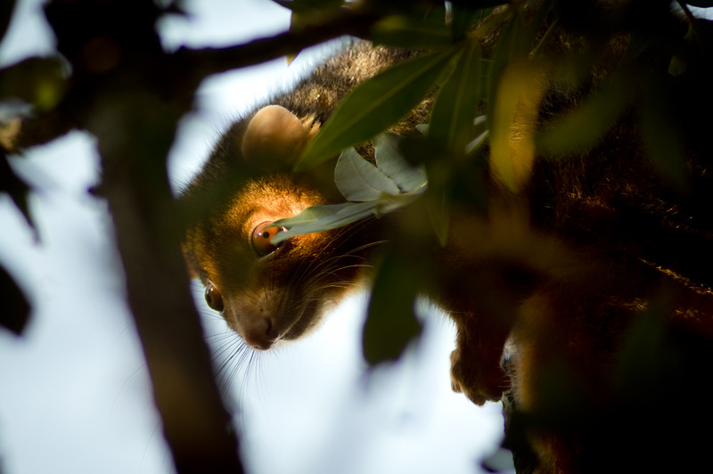 A ringtail possum emerges from its nest, wary of predators