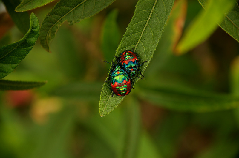 Two harlequin beetles share the tip of a leaf