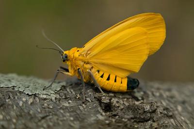 A yellow tiger moth (Agape chloropyga)