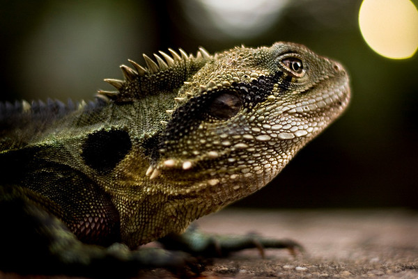The dinosaur profile of a water dragon