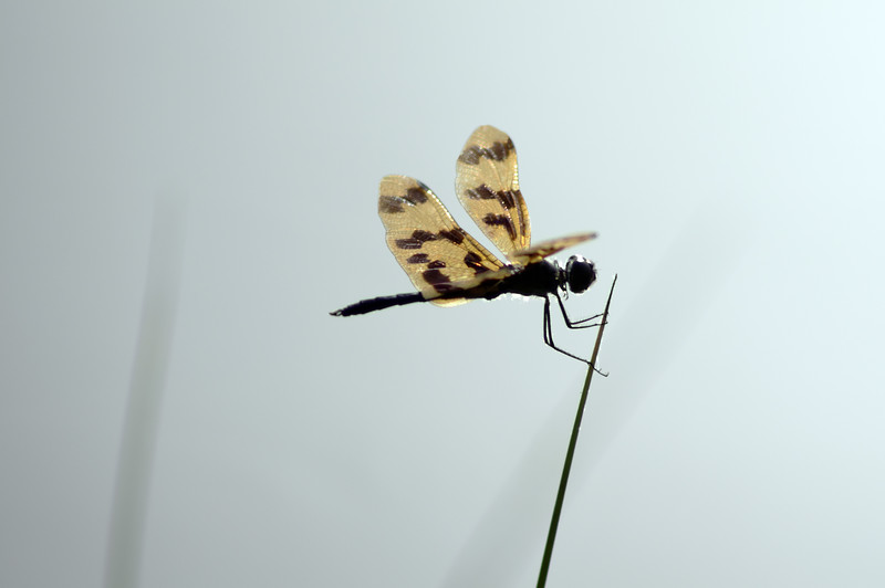 A dragon fly clings to a reed in the wind