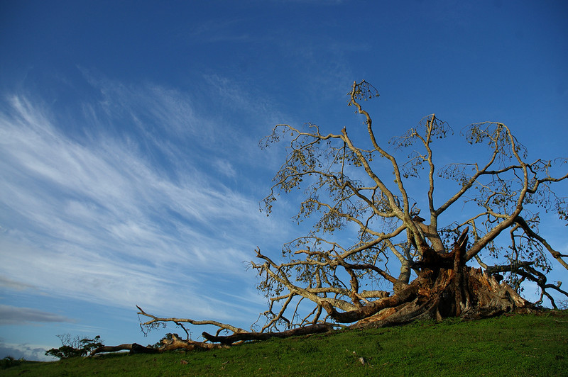 A giant Moreton bay fig falls in a storm