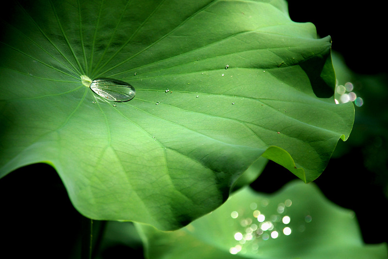 Lotus leaf after rain shower