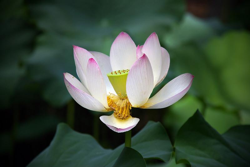 Lotus Lily