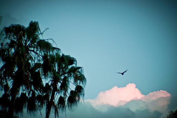 Flying fox in sunset sky