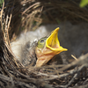 All mouth, a baby mickey bird beseeches it's parents for food
