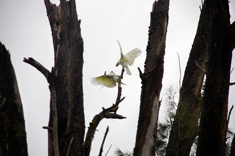 The antics of sulfur-crested cockatoos
