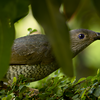A shy female satin bower bird catches sight of a photographer