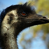 The wise face of an emu, Australia's largest bird