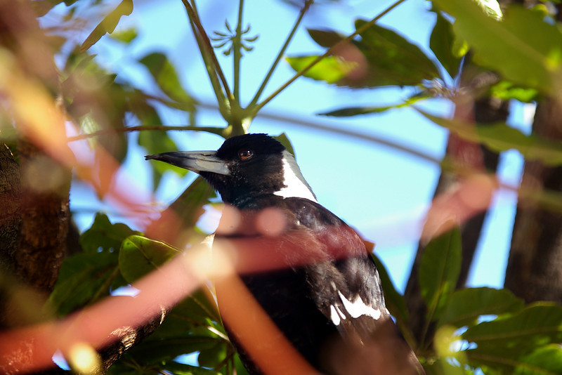 An old magpie with a broken beak hunts for food