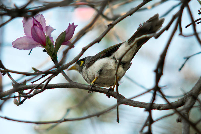 A mickey bird, an Australian native, sits in a bauhinia tree originating from China